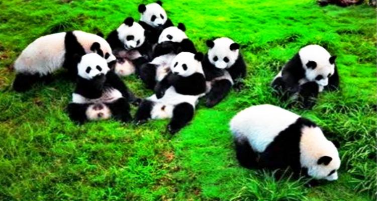 成都市内+熊猫基地纯玩一日游(0自费0购物)(武侯祠+锦里+杜甫草堂+宽窄巷子)