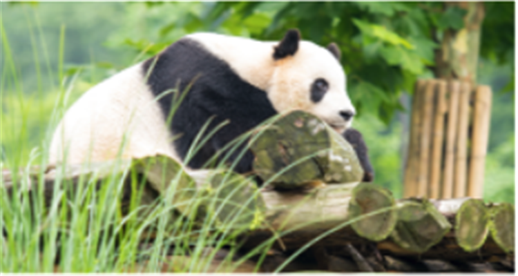 都江堰+成都大熊猫繁殖基地1日游