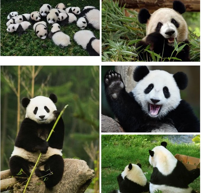 大熊猫实拍图
