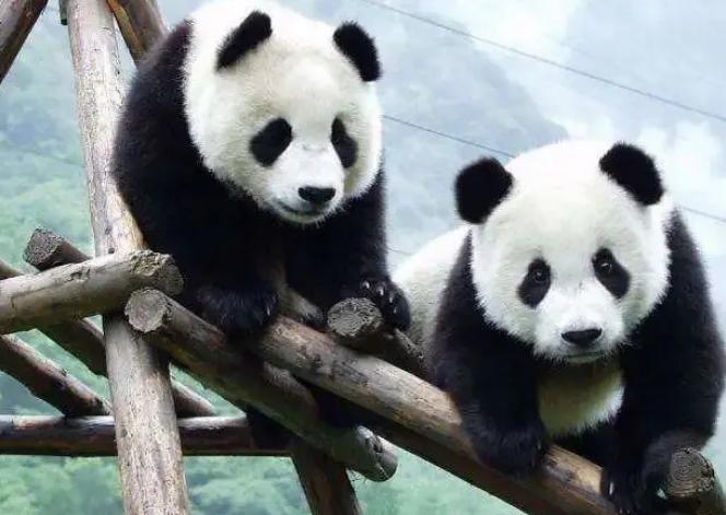 成都必玩景点【成都大熊猫繁育研究基地】旅游攻略分享-成都大熊猫繁育研究基地在哪里,本文具体介绍