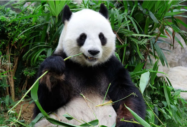 大熊猫生活实拍图片
