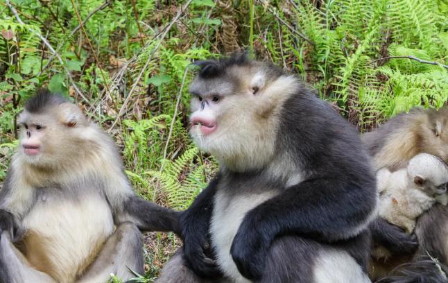 滇金丝猴国家公园图片